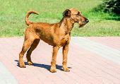 Irish Terrier Looks Ahead. The Irish Terrier Stands In City Park. poster