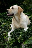 Labrador Retriever Portrait poster