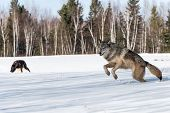 Grey Wolf (canis Lupus) Leaps Left Other Wolves In Background - Captive Animals poster