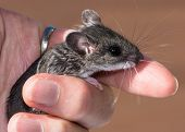 A Hand Holding A Very Content, Small Gray Field Mouse, Peromyscus Maniculatus. This Is A Side View W poster