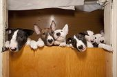 picture of minion  - six young bullterriers - JPG