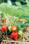 Fresh Ripe Strawberry From Farm. Strawberry Field. Garden-bed With Some Ripe Fruit. Plantation Of Sw poster
