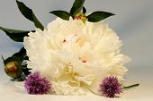 A White Bloom Of Paeonia On The White Background With Two Blooms Of Chives poster