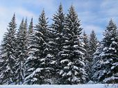 Fir Trees Under The Snow