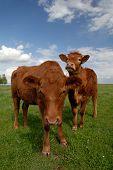Range Cows