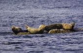 Seals Are Chilling On The Rock In The Water poster