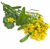 Flowering oilseed rapeseed , Rape blossoms , Brassica napus, isolated