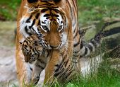 Siberian Tiger With Baby