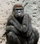 stock photo of swinger  - Ape sitting at the wall staring back at us - JPG