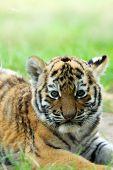 Cachorro de tigre siberiano