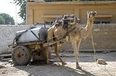 stock photo of camel-cart  - Working Camel in  tha ancient town of Jaisalmer India - JPG