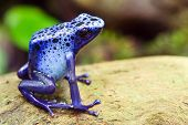 image of orange poison frog  - Blue poison dart frog - JPG