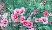 Decorative Pink Garden Flower Cosmos, Cosmos Bipinnatus, Cosmea Bipinnata, Bidens Formosa. Mexican A poster