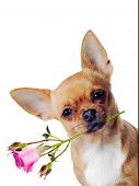 Chihuahua Dog With Rose