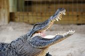 pic of gator  - Alligator closeup on sand in Gator Park in Miami - JPG
