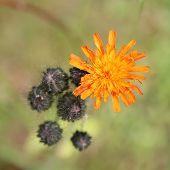 stock photo of collier  - Orange Hawkweed flowers  - JPG