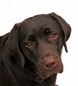 image of sad dog  - an isolated shot of a labrador retriever dog - JPG