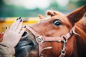 A Womans Hand Gently Strokes The Nose Of A Sorrel Pony With Surprised Eyes poster