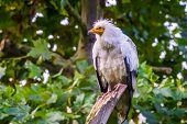White Egyptian Vulture In Closeup, Tropical Scavenger Bird Specie From Africa poster