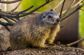Beautiful Closeup Portrait Of An Alpine Marmot, Wild Squirrel Specie From The Alps Of Europe poster