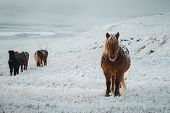 Icelandic Horses Are Very Unique Creatures For The Iceland. These Horses Are More Likely Ponies But  poster