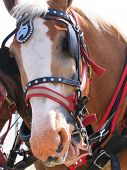 picture of clydesdale  - Proud decorated working horse pulling a wagon - JPG