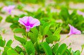 Pink Flowers Of Convolvulus Arvensis Or Field Bindweed. It Is A Species Of Bindweed That Is Rhizomat poster