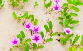 Pink Flowers Grow In A Sand. Convolvulus Arvensis Or Field Bindweed. It Is A Species Of Bindweed Tha poster