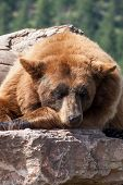 A Large Brown Bear Takes An Afternoon Nap In The Sunshine While Balanced On Top Of Large Rocks With  poster