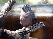 picture of king parrot  - parrot bourkes - JPG