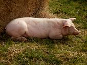 Sow having a rest