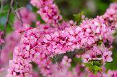 Prunus Japonica