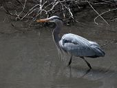 image of boise  - This blue heron was seen fishing in a Boise city park - JPG