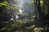 Spiderwebs in forest 1