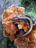 Western Redback Salamander on a Fungus