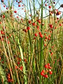 asparagus officinalis with red berries