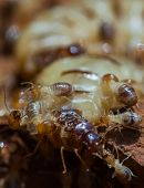 stock photo of termite  - termite and queen termite  in hole - JPG