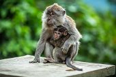 picture of baby-monkey  - Monkey and baby in the forest on Lombok island Indonesia - JPG