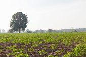 Cassava Or Manioc Field