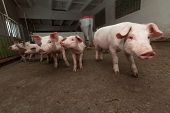 foto of pig-breeding  - Young pigs on the farm - JPG