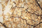 linden blossom, closeup toned shot