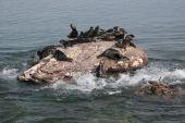 Cowardly Baikal Mammal