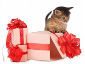 Cute Somali Kitten In A Present Box