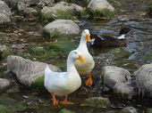 Ducks at river