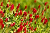 stock photo of red clover  - Close up of beautiful Crimson clover  - JPG