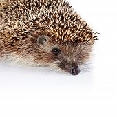 Portrait Of A Hedgehog On A White Background