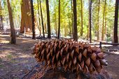 Sequoia pine cone macro in Yosemite Mariposa Grove at California