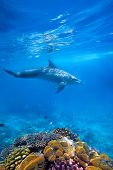 image of porpoise  - Wild Dolphin and corals in blue ocean of Zanzibar - JPG
