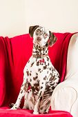 stock photo of bitches  - Brown and white spotted Dalmatian bitch sitting in a chair - JPG