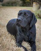 Portrait Of A Young Female Labrador Retriever